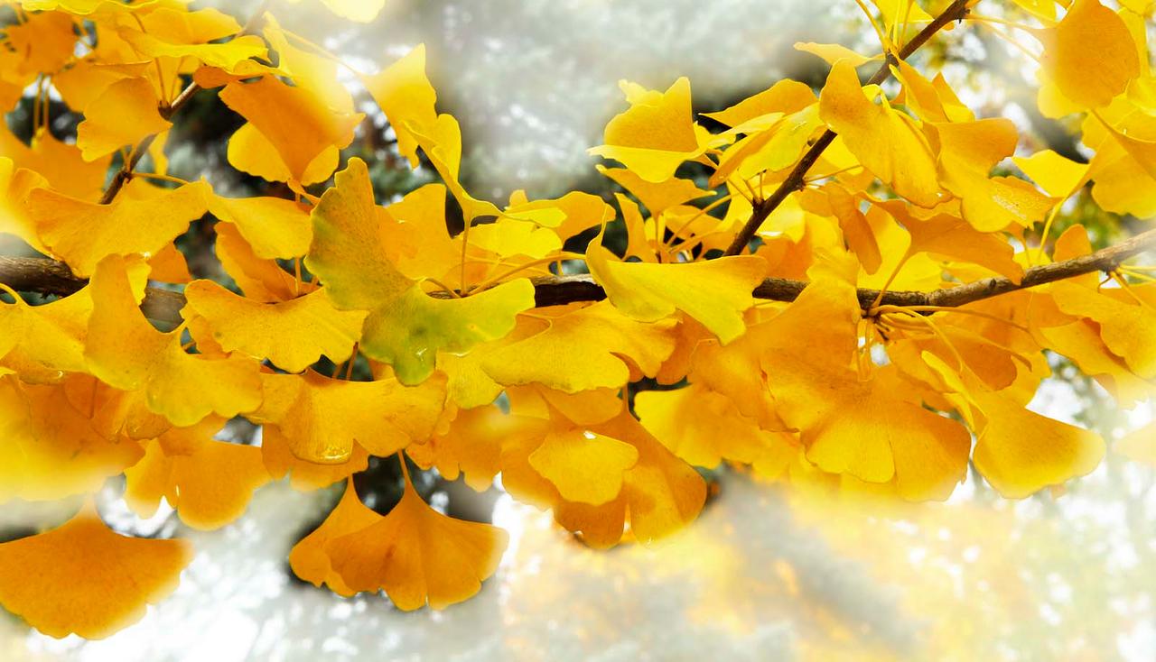 Ginko leaves, Hinsdale, Illinois