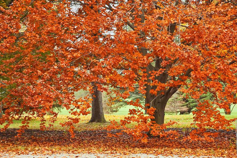 Beech trees, Morton Arboretum, Illinois