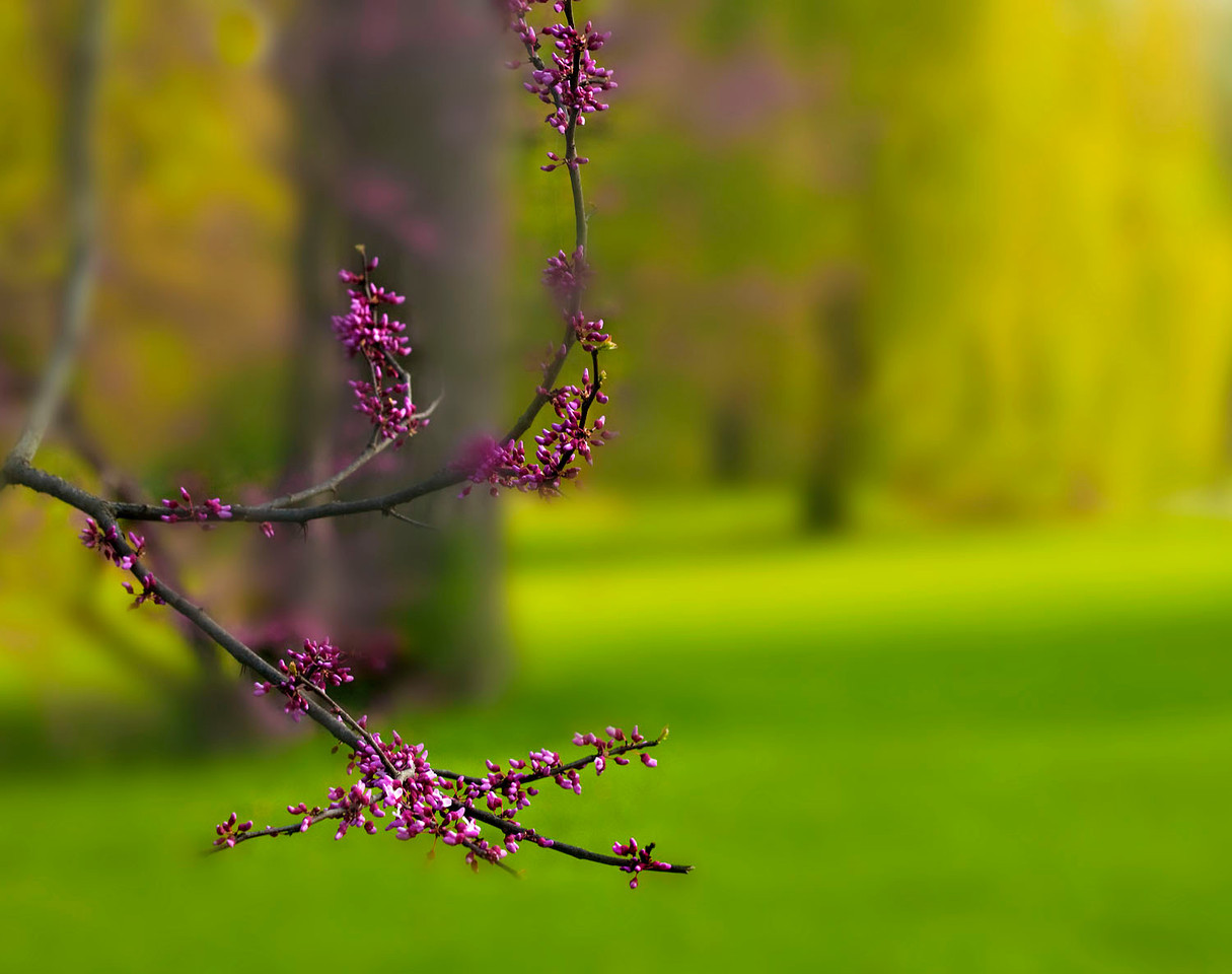 Redbud blossoms with willow tree in the background