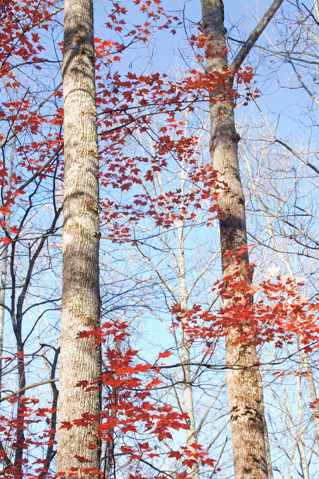 Sugar maple leaves and trunks 1, Great Smoky Mountains, Tennessee