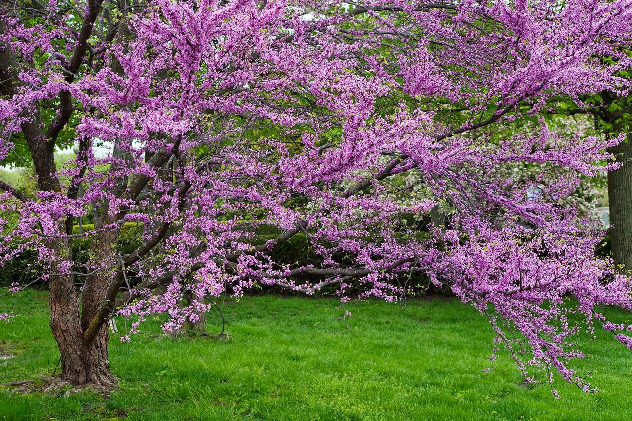 Spring redbud, Chicago