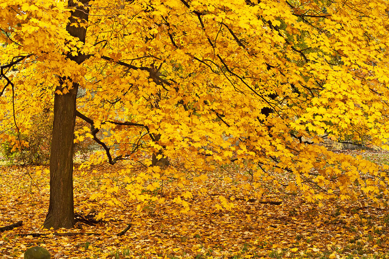 Golden Maple, Morton Arboretum, Illinois