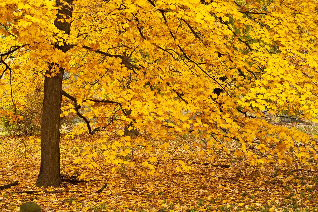 Golden Maple, Morton Arboretum, Illinois