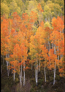Orange aspens, Colorado