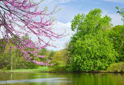 Redbud branches and spring maple, Morton Arboretum, Illinois