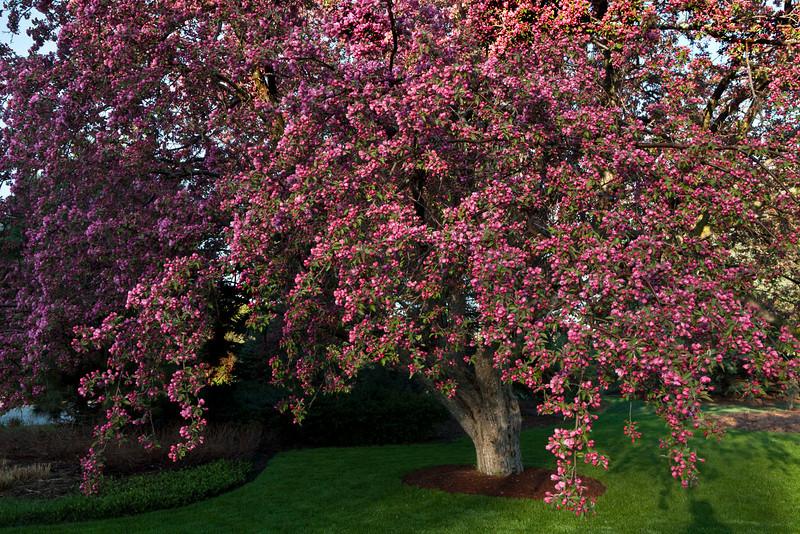 Crabapple flowering