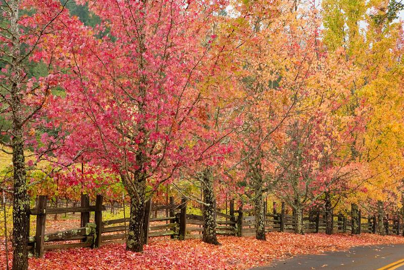 Liquid Amber trees, near Healdsburg, CA