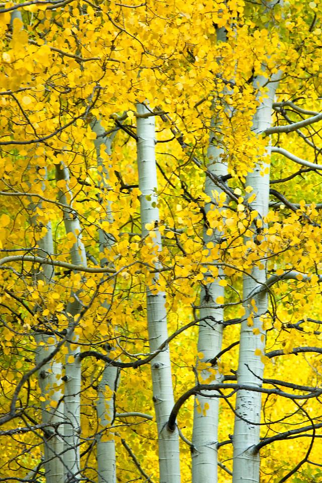 Fall Aspens, Colorado