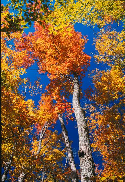Fall canopy 2, Michigan