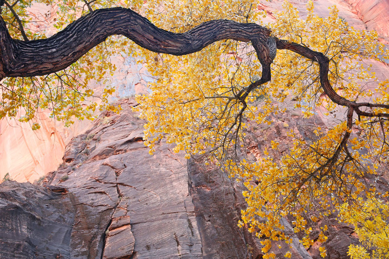 Zion Cottonwood tree, Utah