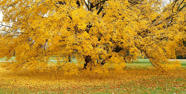 Colorful tree with leaf carpet, Morton Arboretum, Illinois