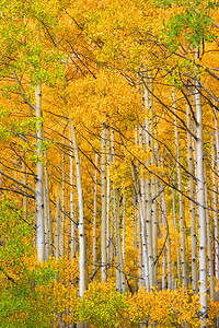 Aspens, Ohio Pass, Colorado