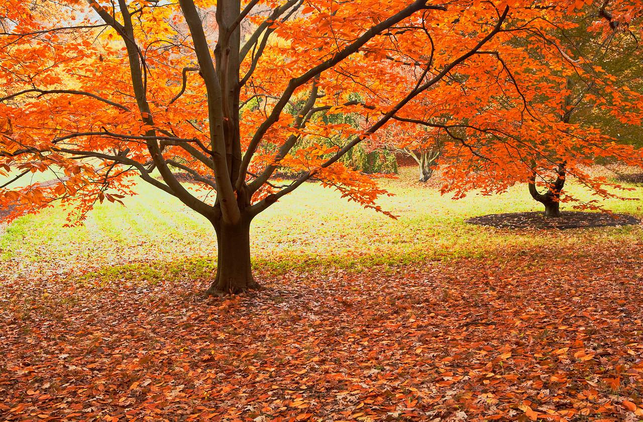 Beech glory, Morton Arboretum, Illinois