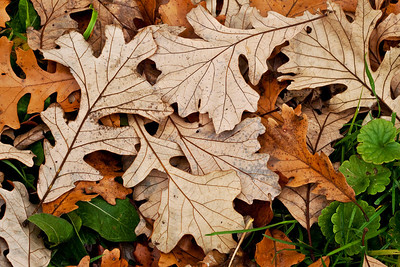 Oak leaves 2, Illinois