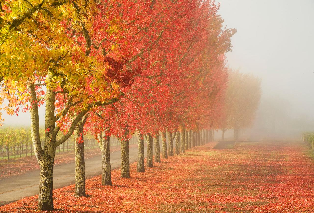 Liquid Amber trees, California