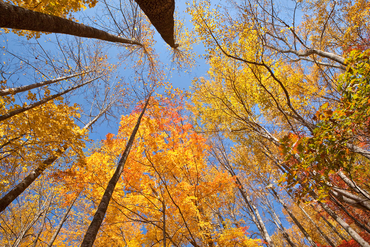 Fall canopy in the Smokies, Tennessee