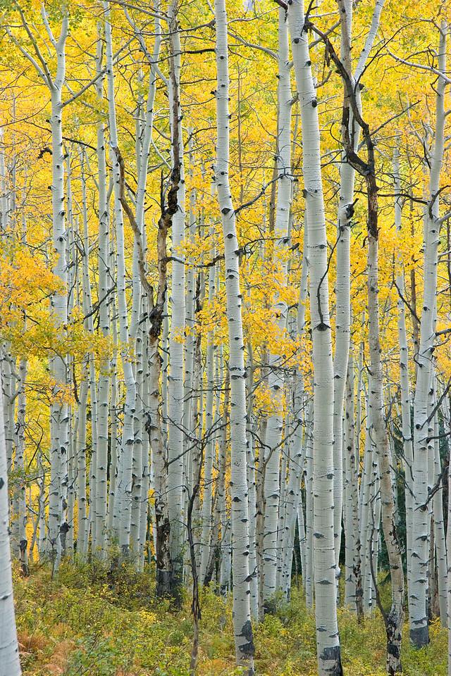Aspens, Kebler Pass, Colorado