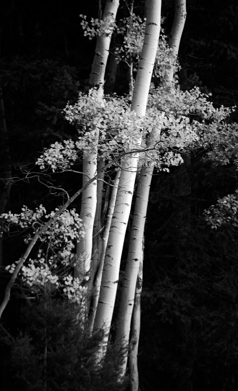 Delicate Aspens, New Mexico