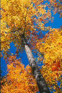 Fall canopy 1, Michigan