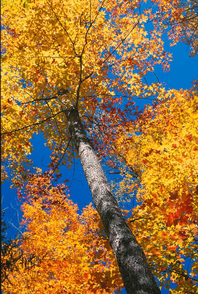 Fall canopy 1, Michigan