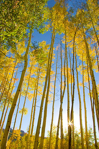Aspens with sunstar, Colorado