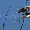 Tree Swallow and Northern Rough-winged Swallow