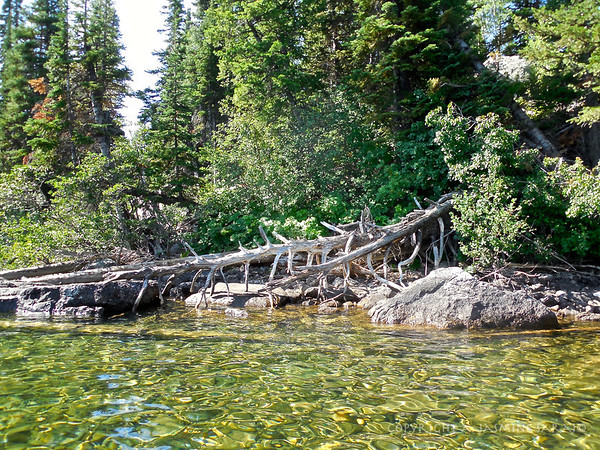 Pine trees on jenny Lake
