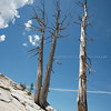 Dead Trees on Rock II<br /> Limited edition