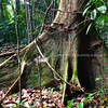 Vines and roots in Tortuguero