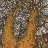 Look up! Acacia, Kenya