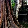 Banyon Tree at wall III