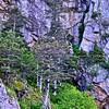 PIne tree on cliff I