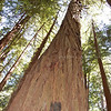 Look up! Redwood, John Muir; 2008<br /> Limited Edition
