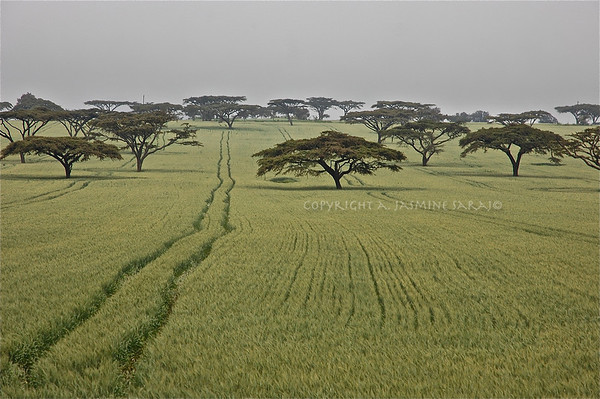 Acacia Field, Kenya; 2010<br /> Limited Edition