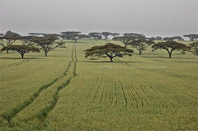 Acacia Field, Kenya; 2010 Limited Edition