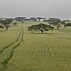 Acacia Field, Kenya; 2010<br /> Limited Edition