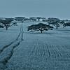 Acacia Field II, Kenya; 2010<br /> Limited Edition