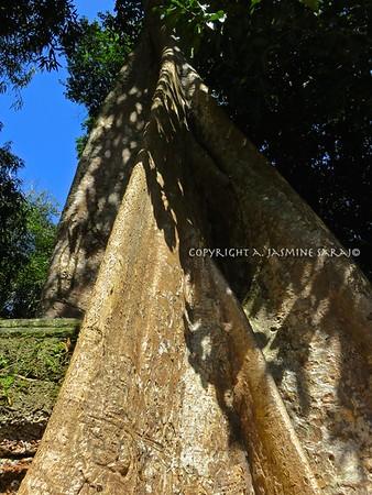 Banyon Tree on wall II