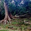 Banyon Tree at Bayon Gate II