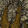 Look up! Acacia I, Kenya