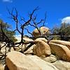 Dead Tree on Joshua rocks I
