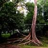 Banyon Tree at bayon Gate III