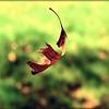 Falling Leaf1