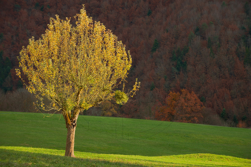 Morbach Tree