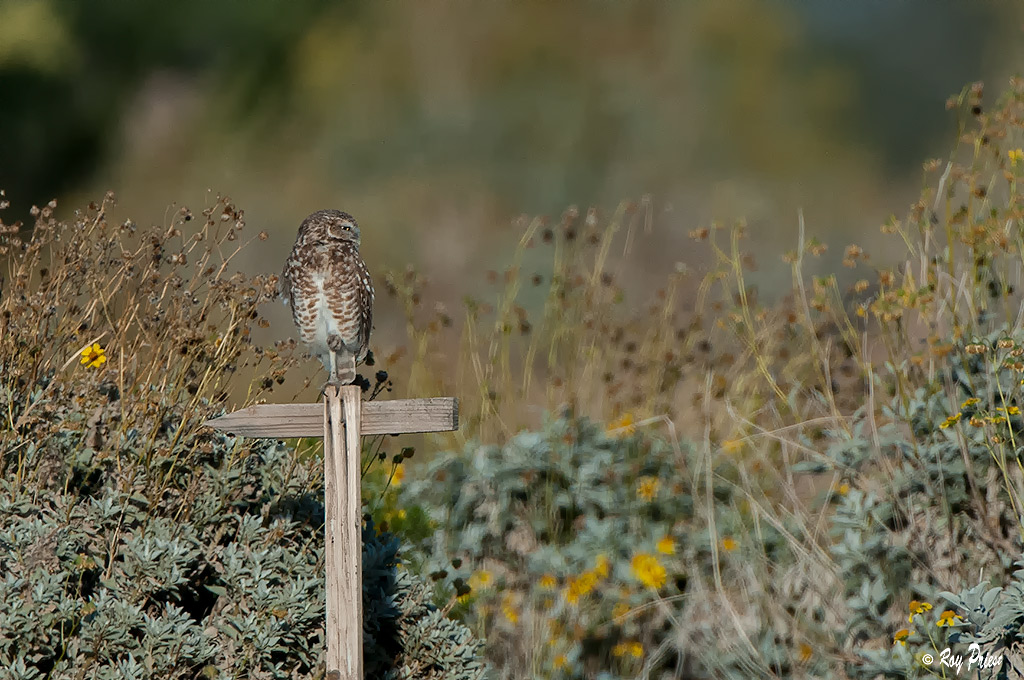 Burrowing Owl,