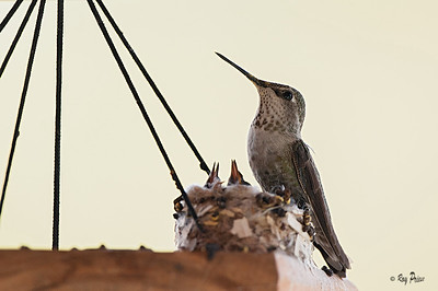Female Anna's Hummingbird with chicks