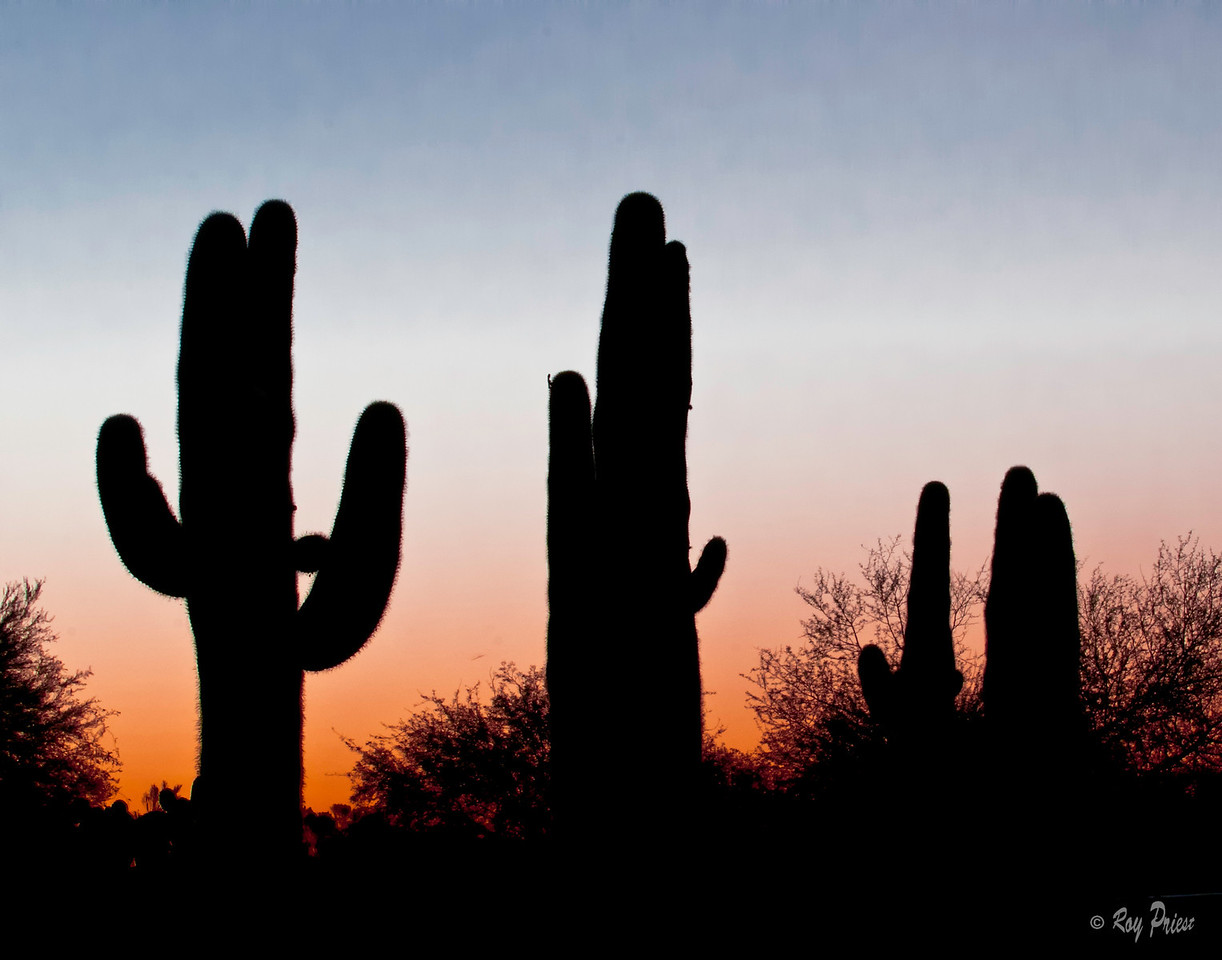 Saguaro Sunrise at Gilbert Water Ranch.