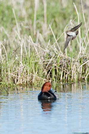 Redhead and Rough-winged Swallow