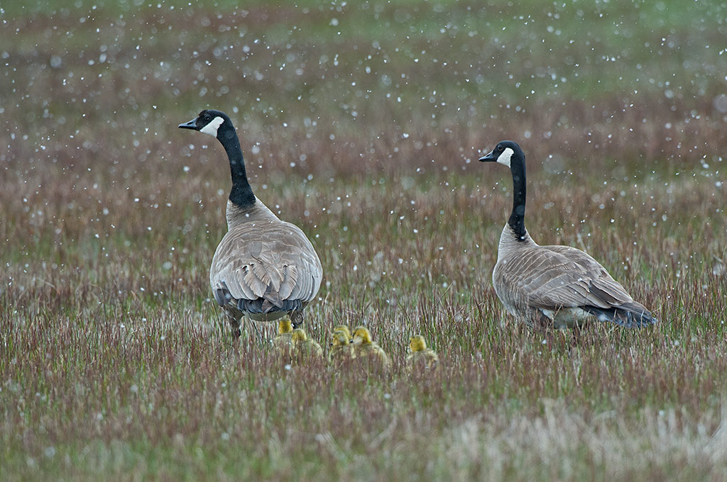 Canada Goose family in the snow