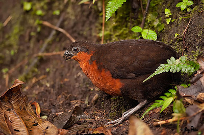 Dark-backed Wood-quail Ecuador Vulnerable